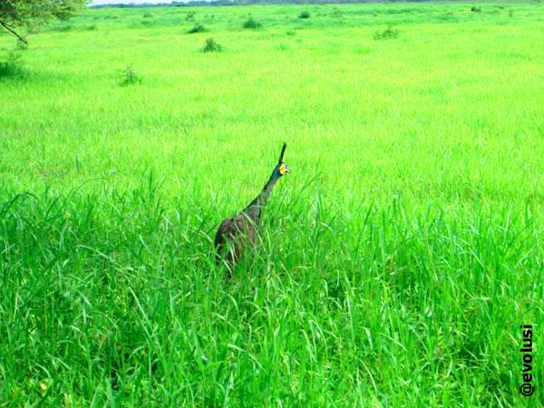 burung merak taman nasional baluran